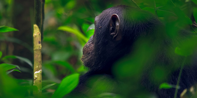 Chimps-Tracking_uganda