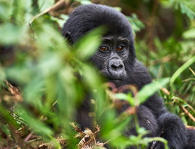 gorilla-uganda-safaris